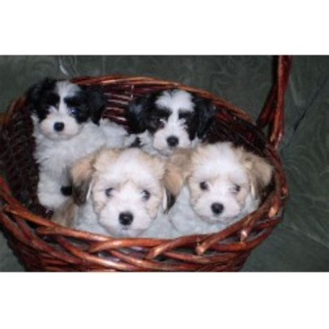 havanese breeders in ny nyc havanese havanese breeder in woodhaven new york