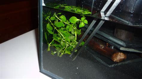 Nano Aquarium Pflanzen by Aquariumpflanzen Im Nano Aquarium Einsetzen
