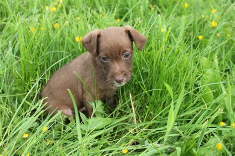 jackapoo puppies puppies for sale 2014 breeds picture