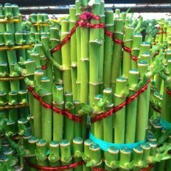Tanaman Hias Bambu Hoki tanaman bambu hoki bibitbunga