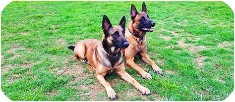 puppies for sale usa belgian malinois puppies for sale belgian malinois puppies for sale