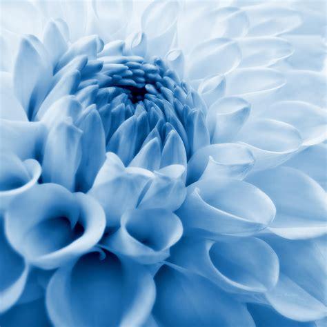 Flower Decor For Home Dahlia Flower Blue Photograph By Jennie Marie Schell