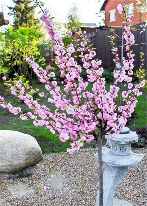 9 cherry tree prunus triloba flowering cherry almond tree