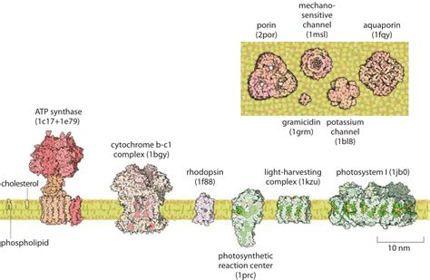 thickness   cell membrane