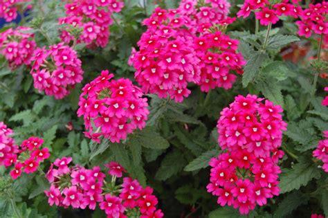 imagenes de flores verbenas verbena greenhouse product news