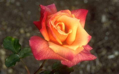 imagenes de rosen up rosen fotos kostenlos