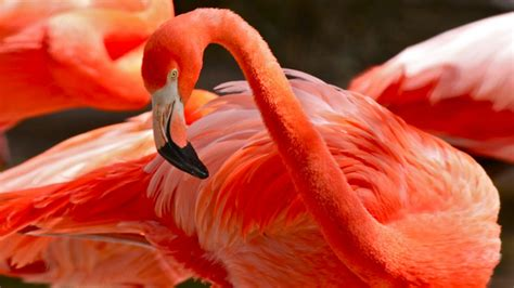 how do flamingos get their pink color caribbean flamingos pink or color of flamingos comes