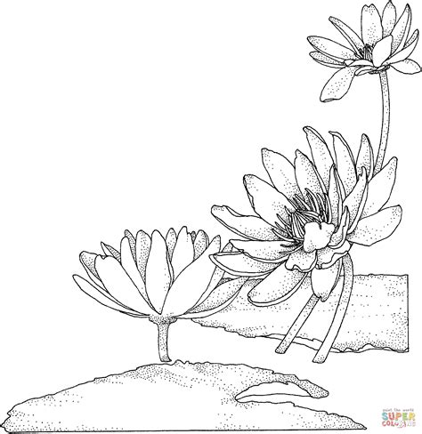coloring page water lily nymphaea or water lily coloring page free printable