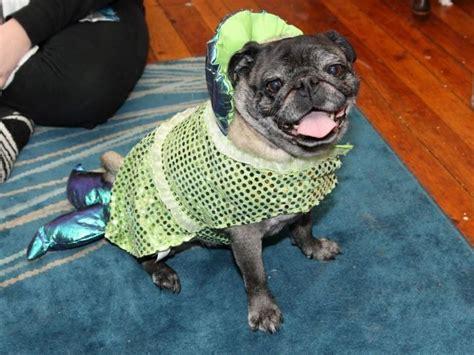 pug mermaid pug in a mermaid costume da pugs mugs
