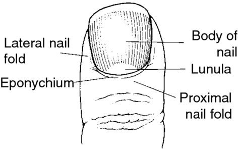 what is a nail bed nail bed definition images