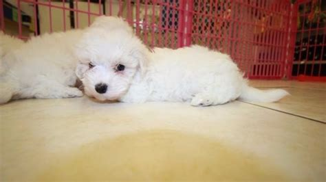 bichon frise puppies for sale in ga cuddly bichon frise puppies for sale in atlanta at puppies for sale local