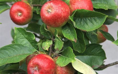 fruit tree supplies apple blush babe