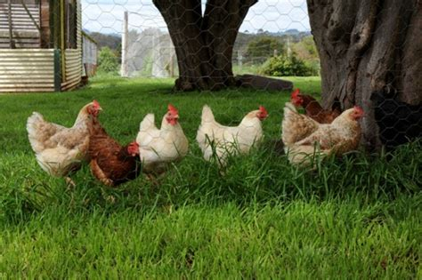 Best Backyard Chicken Breed What Are The Best Chicken Breeds For Backyards One Hundred Dollars A Month