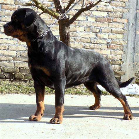 king rottweilers kennel king breed rottweiler dogshows