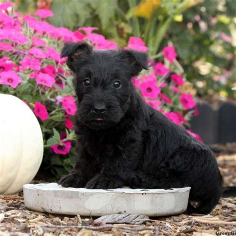 scottish terrier puppies for sale in pa scottish terrier puppies for sale in pa