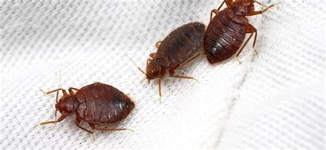 where do bed bugs hide during the day where do bed bugs hide bed bug eggs get rid of bed bugs quickly 6 you will cover