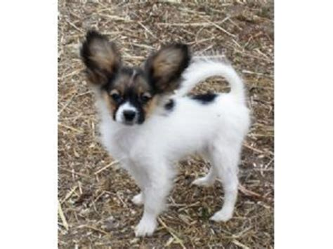 puppies for sale in raleigh papillon puppies for sale in raleigh nc breeds picture