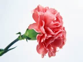 Ugly Flowers Pictures - the quot common quot carnation religious forums