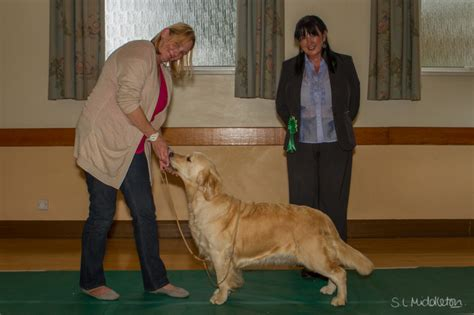 northern golden retriever association golden retriever club uk northern golden retriever club uk dogs in our photo
