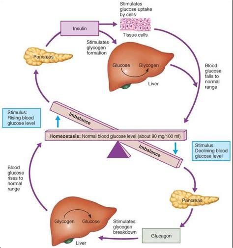 insulin and glucose diagram bohone09 7