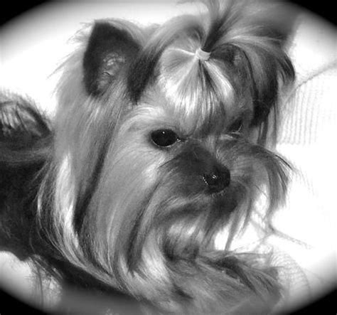 yorkie puppies for sale in jackson tn 1000 ideas about yorkie puppies on yorkie terriers and yorkie dogs