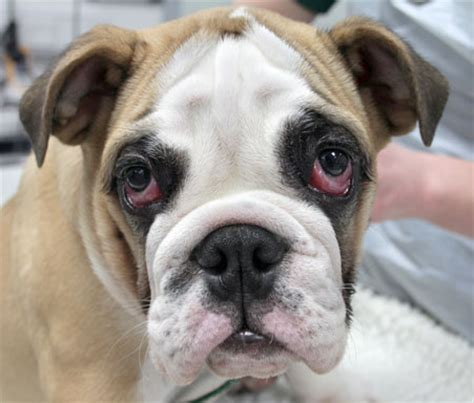 cherry eye in cherry eye in bulldogs a common issue that you should be aware of bullymake