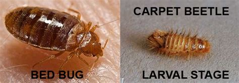 Carpet Beetle Vs Bed Bug by Black Carpet Beetles Vs Bed Bugs Carpet Vidalondon
