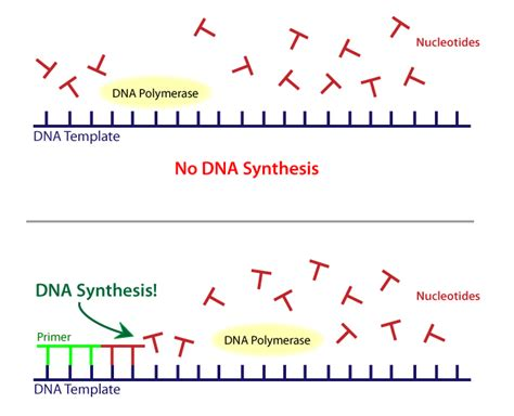 what is a template in dna dna iii biology visionlearning