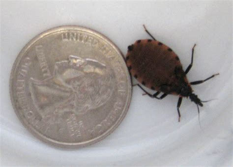 do bed bugs suck blood immature bloodsucking conenose bug what s that bug