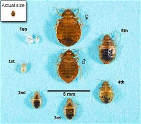 size of a bed bug parasites beds blog