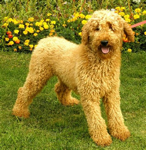 poodle cuts exles standard poodle cuts dogs countryside standard poodles