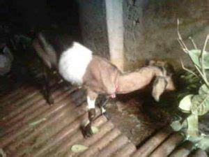 Jual Bibit Kambing Di jual bibit kambing madiun daging kambing