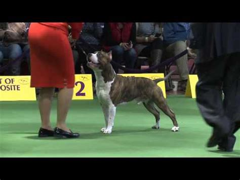 terrier show american staffordshire terrier westminster kennel club show 2016
