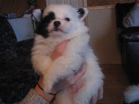 pomeranian puppies for sale in seattle seattle purebred rescue to seattle purebred rescue breeds picture