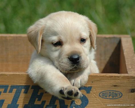 puppy yellow lab puppy world really puppy pictures