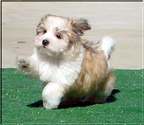 havanese silk silk dogs havanese puppies