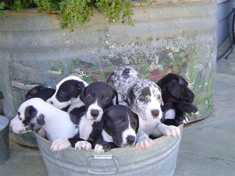 great dane puppies maine welcome home page