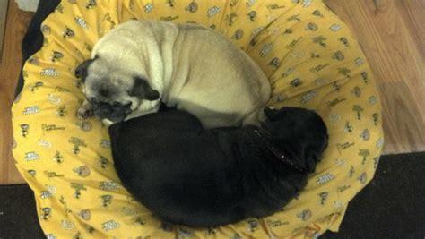 pug yin yang yin and yang pugs pug