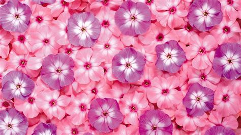 pink flower desktop pink flowers desktop wallpaper in 1600x900 chainimage