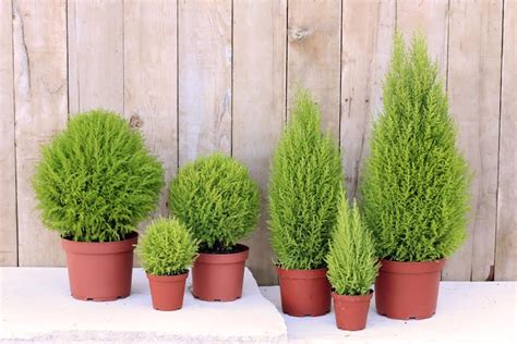 plants used for topiary live lemon topiaries live topiary plants fresh