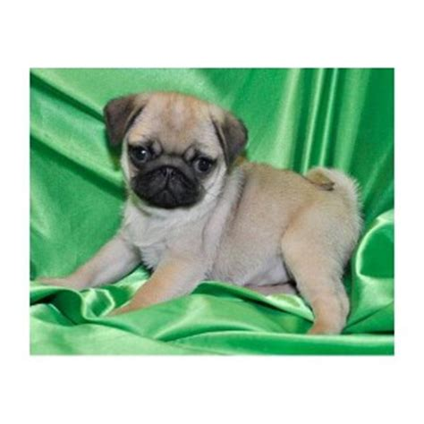 pugs for sale in charleston sc pug puppies for sale charleston sc 234085 petzlover