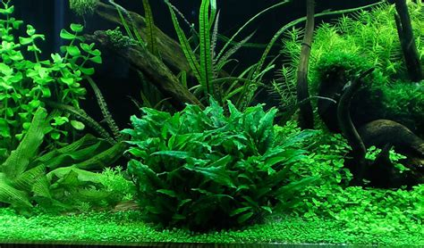 cryptocoryne aquascape cryptocoryne balansae caresheet aquatic mag
