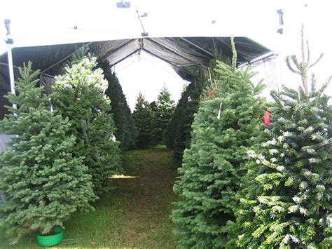 carroll s island christmas tree farm pre cut christmas