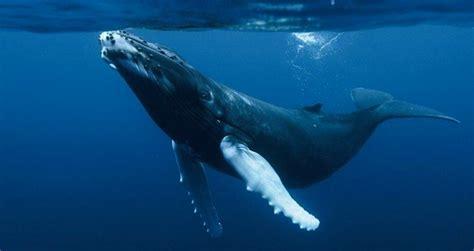 imagenes sorprendentes de ballenas todo sobre las ballenas jorobadas faddi nassar