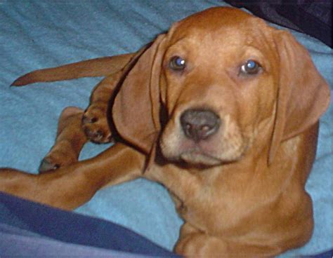 redbone puppies redbone coonhound pups www imgkid the image kid has it