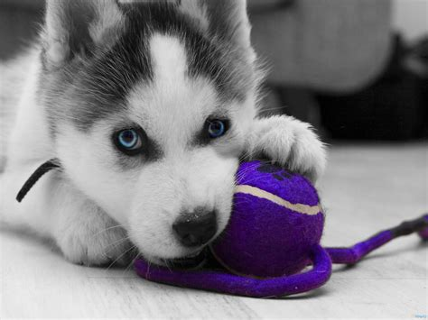 how to a siberian husky puppy siberian husky puppy