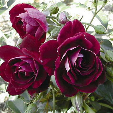 Burgundy Ice Standard Rose