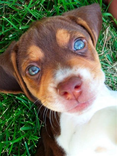 blue beagle puppies blue eyed beagle related keywords blue eyed beagle keywords keywordsking