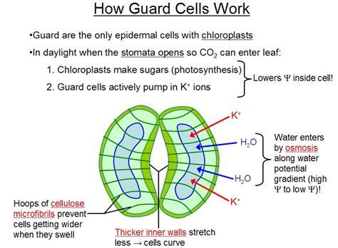 stomata diagram diagram of the stomata and guard cells diagram free