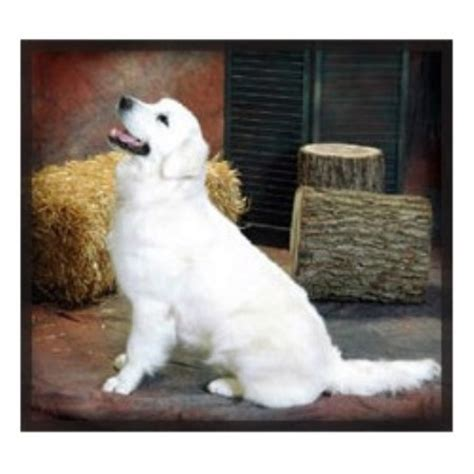 free golden retriever puppies ohio treasure goldens white golden retrievers golden retriever breeder in